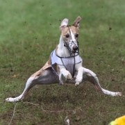 A Whippet Trying to stop!